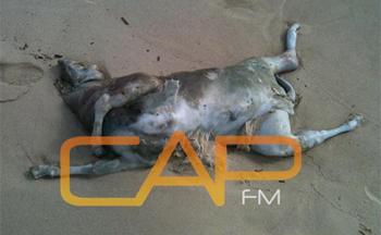 Une vingtaine de cadavres de moutons roumains trouvés sur les plages de Hammamet BN8083cadavre-moutons-roumains1012